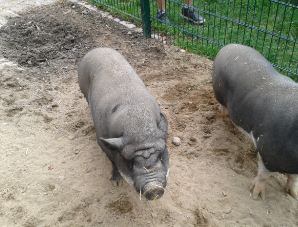 Urlaub auf dem Bauernhof mit  Schweinen